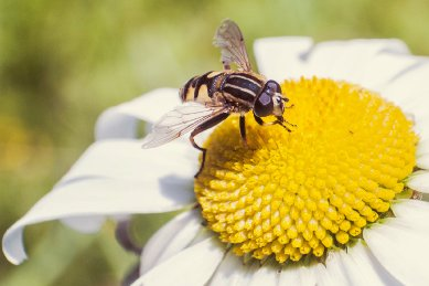 hoverfly001